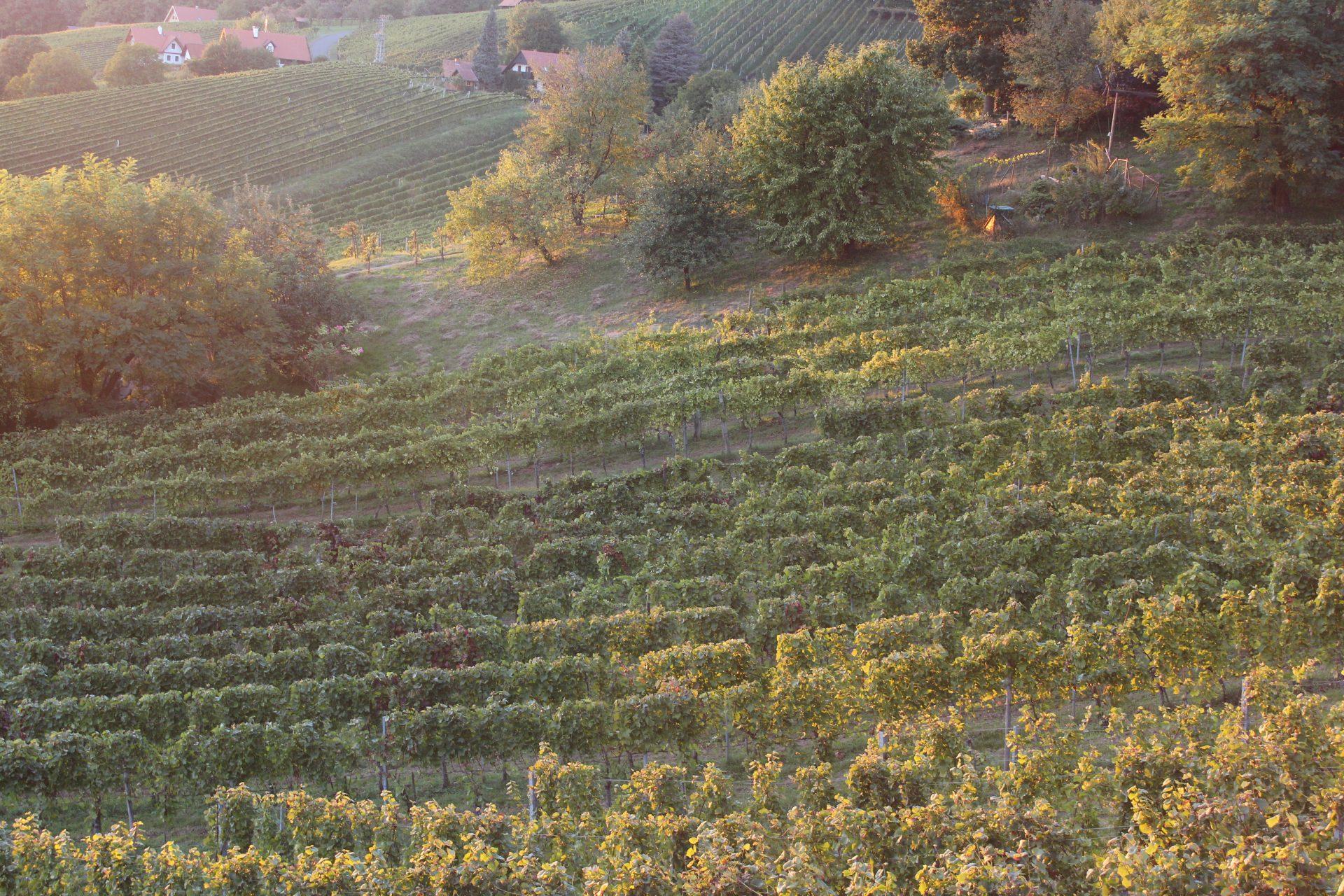 Weinreben im Hügelland
