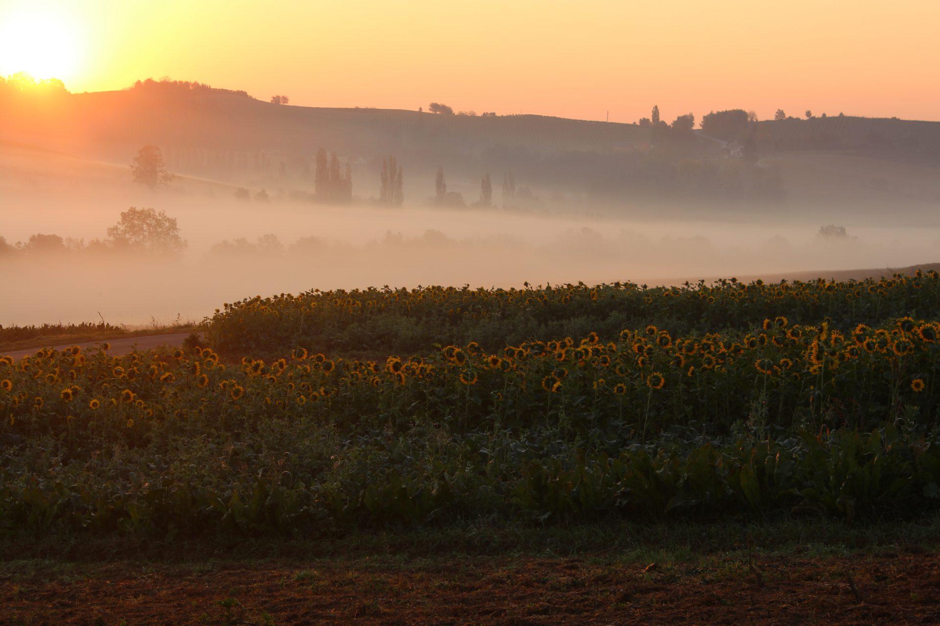 Sonnenblumenfeld im Nebel